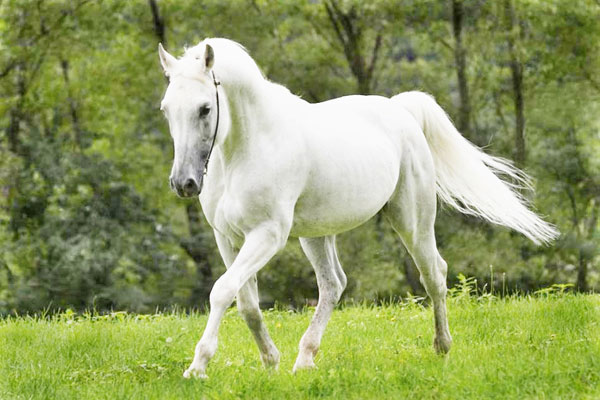 white horse using equine ehabilitation centre cork